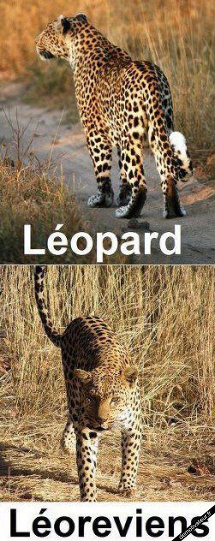 Léopard, Léoreviens